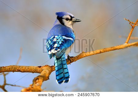 Beautiful Blue Jay Sitting On A Branch