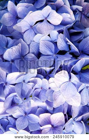 Hydrangea With Blue Petals In Oban, United Kingdom. Hydrangea Flower Blossom. Flora And Nature. Natu