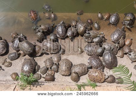 Group Of Turtle In The Turtle Pool .
