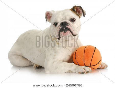 dog playing ball - english bulldog laying with stuffed basketball on white background poster