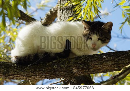Stray White And Grey Cat Ran Up A Tree And Waits On A Branch For The Threat To Go Away. Looking Susp