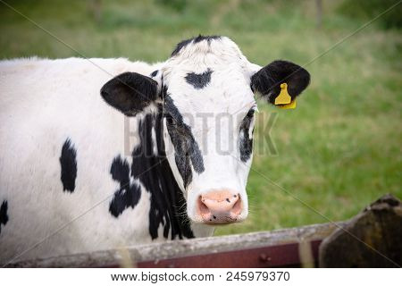 The Head Of The Cunning Cow In Close-up, With Yellow Identification Tags In The Ears. Standing Behin