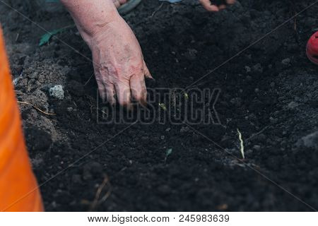 Female Hands Plant A Green Plant In The Ground. Hands In Pattern. Plant The Plants On The Farm. Farm