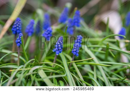 Small tiny fragile Hyacinth Flowers growing in park in spring poster