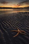 Picture of a starfish on a colorful winter evening lying on the sand enjoying the sunset in Edmonds WA. poster