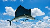 Marlin - Swordfish,Sailfish saltwater fish (Istiophorus) isolated on sky background poster