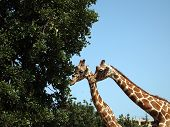 A pair of giraffes are eating the leaves of a tree poster