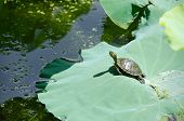 Red-eared slider turtle Trachemys scripta elegans sunbathing on a lotus leaf poster