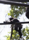 Siamang gibbon (Symphalangus syndactylus) playing in an enclosure poster