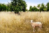 Mediterranean sheep on wheat and almond trees field in Majorca spain poster