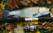 Picture of a trophy fish. The big European Chub (Squalius cephalus) on a landing net. poster