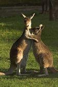 two kangaroos hugging poster