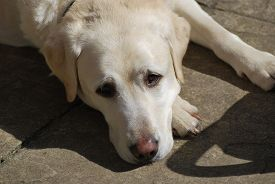 A White Labrador Dog Lies On Concrete Patio Outdoors In Bright Sunny Weather. Taken In Upton-by-ches