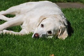 A White Labrador Dog Lies On Grass Outdoors In Bright Sunny Weather. Taken In Upton-by-chester, Engl