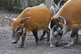 Red River Hogs (potamochoerus Porcus) Sniffing For Food On A Background Of Dull Earth.