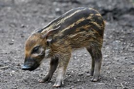 A Red River Hog (potamochoerus Porcus) Piglet On A Background Of Dull Earth.