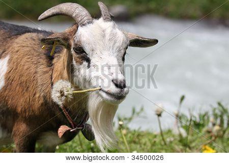 Bearded Swiss Goat