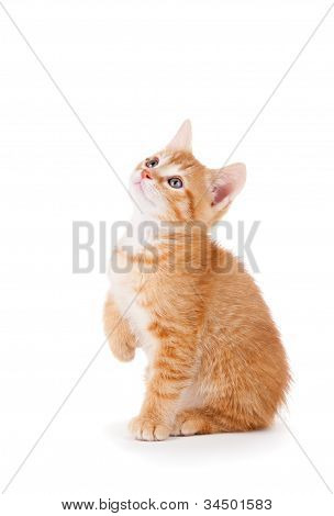 Cute orange kitten with large paws looking up on a white background.