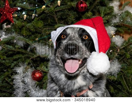 Happy black and white spotted dog wearing a Santa hat, in front of a Christmas tree