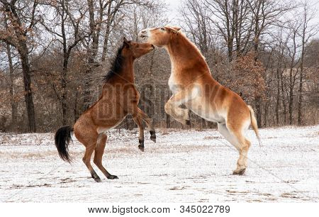 Two horses play fighting and rearing up; a red bay Arabian and a blond Belgian draft horse; on a cloudy winter day