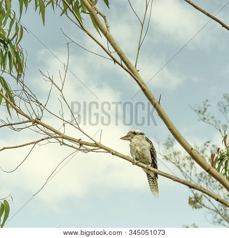 Iconic Australian Kookaburra Or Laughing Jackass Sitting In A Gumtree