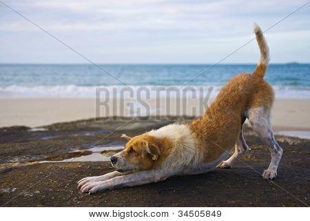 Yoga dog on the beach