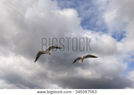 Close Up Of Two Gull Flying On The Sky