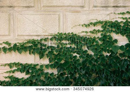 Hedera Helix, Common Ivy, English Ivy, European Ivy Evergreen Foliage On White Stone House Wall, Hor