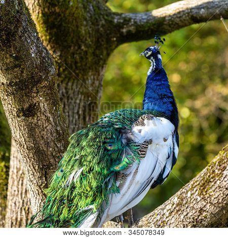 The Indian Peafowl Or Blue Peafowl, Pavo Cristatus Is A Large And Brightly Coloured Bird, Is A Speci