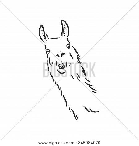 Vector Lama Head Illustration. Llama Or Alpaca Hand Drawn Ink Sketch. Cute Mammal Animal Drawing