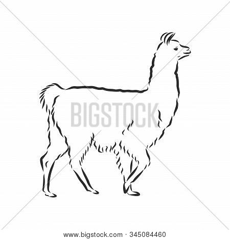 Vector Lama Illustration. Llama Or Alpaca Hand Drawn Ink Sketch. Cute Mammal Animal Drawing