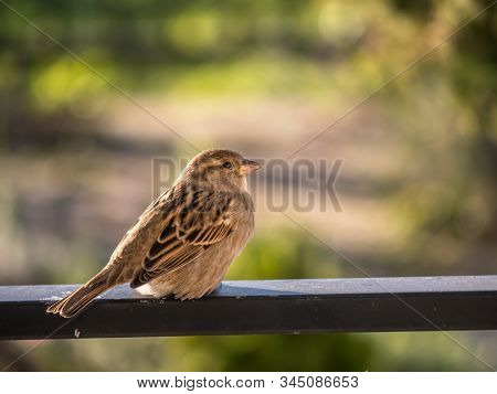 A house sparrow perching on metal railing