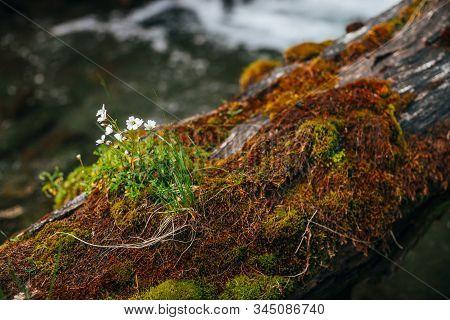 Small White Flowers Of Cerastium Tomentosum In Bloom On Fallen Wet Mossy Tree Trunk On Bokeh Backgro