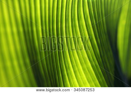 Soft focus Banana palm tree leaf closeup. Natural texture background. Green vibrant color. Sun light effect.