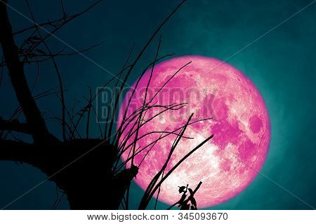 Full Pink Beaver Moon Back On Dark Cloud On Silhouette Dry Tree And The Night Sky