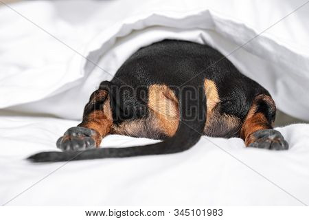 Black And Tan Dog Butt And Tail Sticking Out From Under The White Blanket On The Bed. Home Or Dog-fr