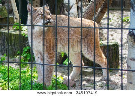The Siberian Lynx (lynx Lynx Wrangeli), Also Known As East Siberian Lynx Behind The Bars In Zoo.