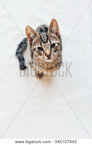 Young European Shorthair Cat With Kinked Tail Sitting On White Background.