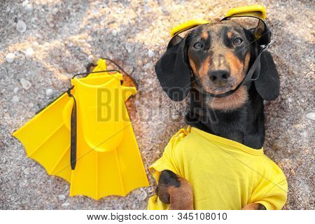 Funny Black And Tan Dachshund Lies On The Sand Beach, Wearing Bright Yellow Diving Suit, With Scuba