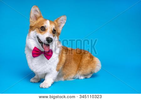 Cute Ginger And White Dog Of Welsh Corgi Pembroke Breed Wearing Red Bow Tie On Bright Blue Backgroun
