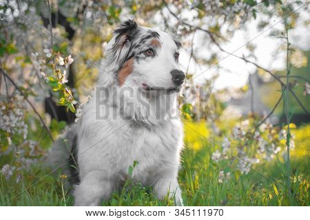 Amazing Cute Spring Portrait Of Happy And Healthy Aussie Australian Shepherd Dog In The Flowering Pl
