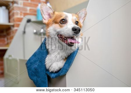 Funny Portrait Of A Welsh Corgi Pembroke Dog After A Shower Wrapped In A Towel.  Dog Taking A Bubble