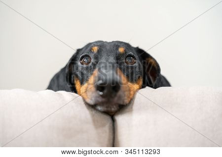 Close Up Portrait Of Adorable Black And Tan Dachshund Resting His Head Between The Cushions Of White
