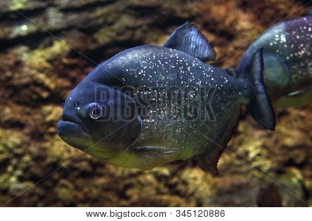 Close Up Of A Red-bellied Piranha, A Blood-thirsty Cannibalism Fish