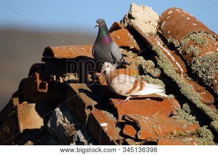Feral Pigeons (columba Livia Domestica), Also Called City Doves, City Pigeons, Or Street Pigeons Sit