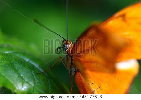 A Close Up Of A Flame Butterfly With Curled Proboscis