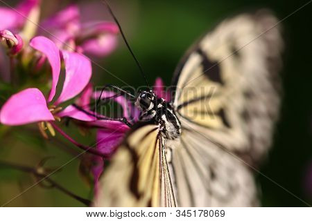 A Tree Nymph Butterfly Probing Flowers For Nectar With Its Proboscis