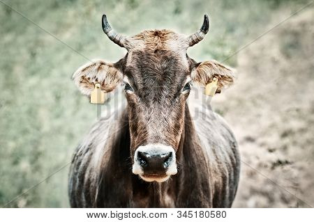 Cow With Ear Tags. Bovine, Brown With Yellow Tags In Front Of Field.