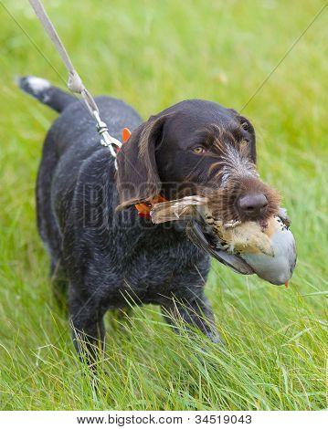 Dog Retrieving a Chukar