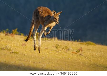 Macropus Giganteus - Eastern Grey Kangaroo Marsupial Found In Eastern Third Of Australia, With A Pop